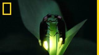 Video Fireflies Put on a Spectacular Mating Dance | Short Film Showcase MP3, 3GP, MP4, WEBM, AVI, FLV Juni 2019