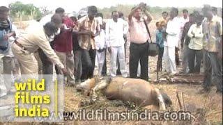 Junagadh India  city photos gallery : Rare Asiatic Lion found dead in an open well - Junagadh, India