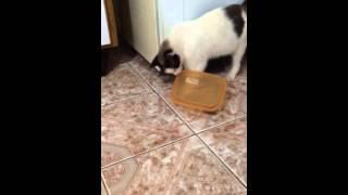 Quando acaba a ração do pratinho do meu gato,ele fica tentando abrir o pote rs xD