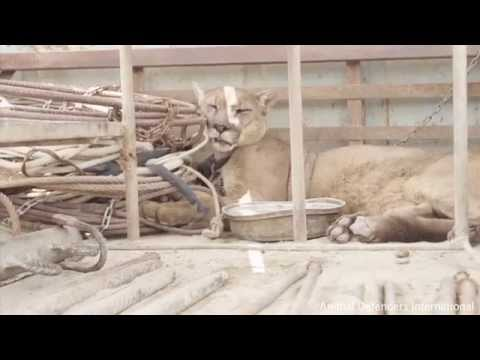 這隻山獅被馬戲團違法養在卡車上長達20年,「鐵鍊終於被解開時」他的震驚反應會讓你流著淚笑開懷!