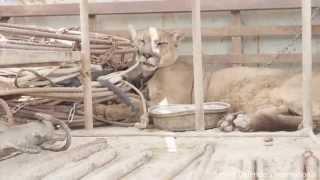 Lew górski w niewoli spędził 20 lat na łańcuchu. Jego reakcja gdy odzyskał wolność jest magiczna