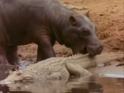 Crocodile - http://www.powermindsubliminal.com/ http://www.holographic-disclosure.com/ Hippo's shows the crocodiles who's the boss even in the eating frenzies.Played to ...