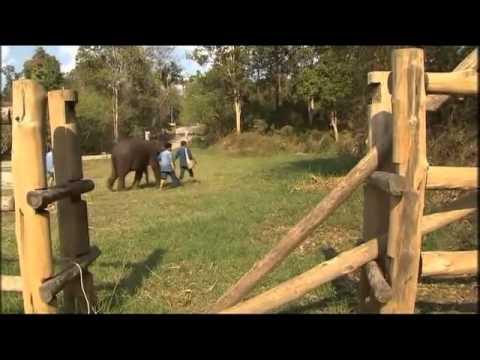 Afrikaanse olifant verdwijnt langzaam door stroperij