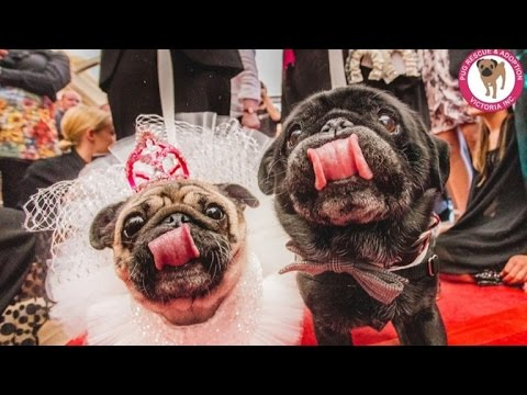 Here Comes the Pug! Two Rescue Pooches Get Married in Style