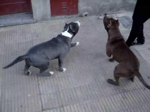Entrenamiento Canino – Pit Bull  –  Histeria y Tirano Monarquía Pit Bull
