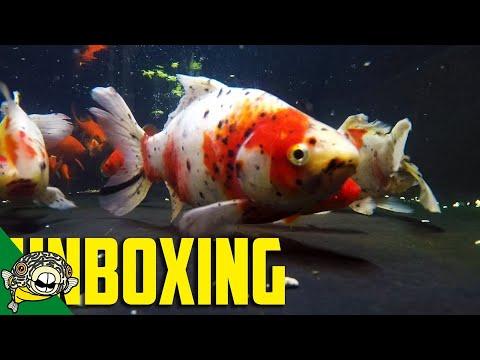 GOLDFISH UNBOXING - IMPORT ORDER AFTER MIDNIGHT!_Akvárium. Heti legjobbak