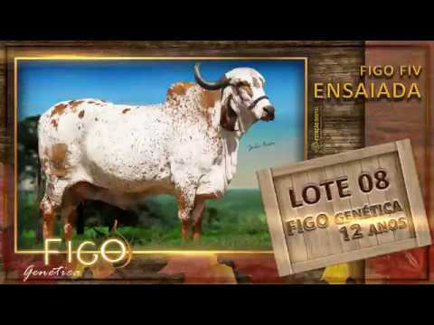 LOTE 08 - FIGO FIV ENSAIADA