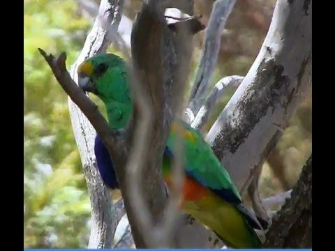 Mulga Parrot (Psephotus varius) – Bird Sightings – Dumbleyung – Western Australia