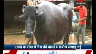 Rewa India  city photos : A Buffallo worth Rs.4 Crore in M.P.'s Rewa