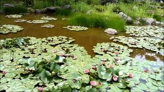 新発地庵の池に睡蓮が見頃となりました。