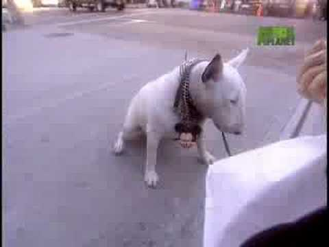 the awesome bull terrier!