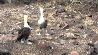 Funny Bird Mating
