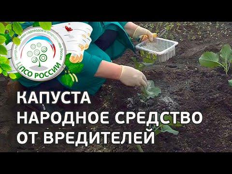 Выращиваем брокколи. Борьба с вредителями капусты брокколи народными средствами.