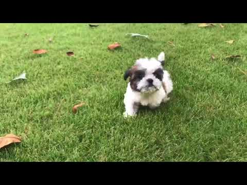Meet Bella Luna. This baby is an adorable show quality bred imperial Shih Tzu