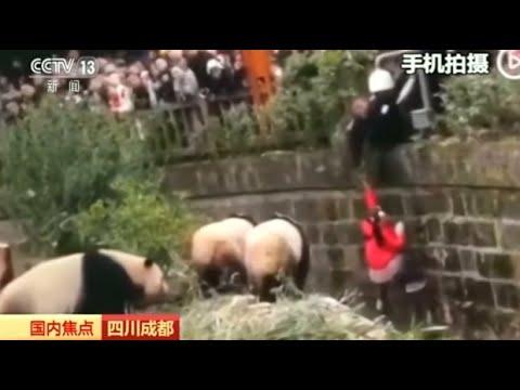 Chengdu/China: Tierpfleger rettet Kind aus Pandageheg ...