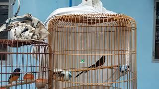 Video Hướng dẫn tháp đuôi cho chim chích chòe lửa MP3, 3GP, MP4, WEBM, AVI, FLV Desember 2018