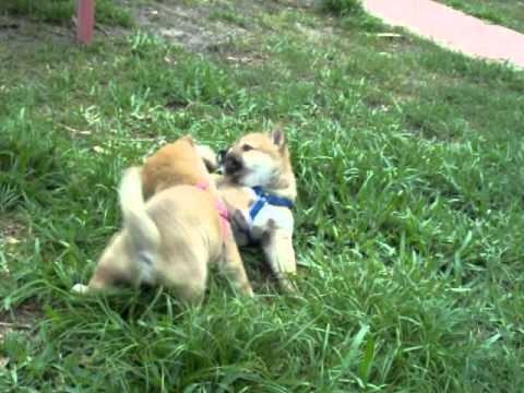 Nyla & Hackles fighting