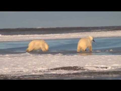 Polar bears playing on ice