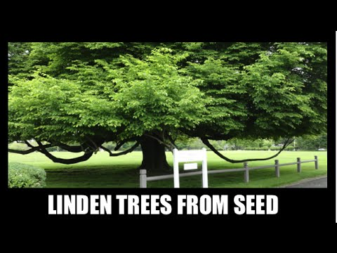 How to Grow Linden Trees From Seed