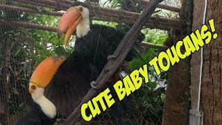 Baby Toucans bill fencing and playing!!! 😍 (AWWWWWWWW!)
