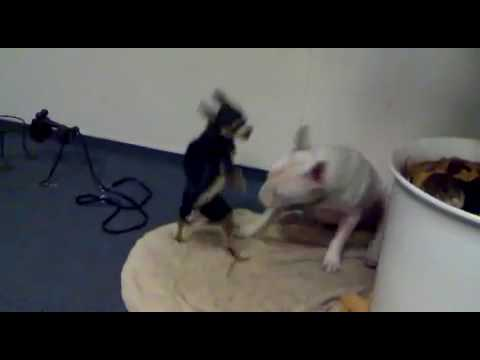 Mini Bulli Bennet vs Chihuahua Herr Nilsson