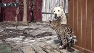 Un leopardo y un perro se convirtieron en los mejores amigos en un zoo de Rusia