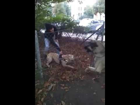 kangal vs cao