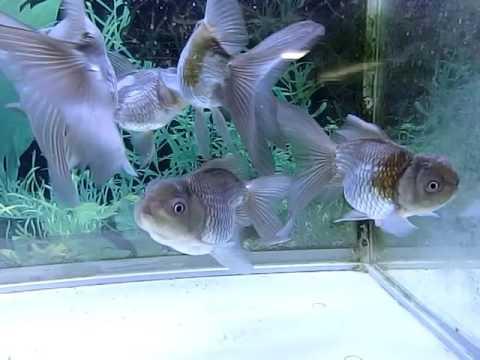 高頭青文魚