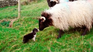 Video Man's Best Workmate - Border Collie puppies | Big Week on the Farm | RTÉ One MP3, 3GP, MP4, WEBM, AVI, FLV Juli 2018