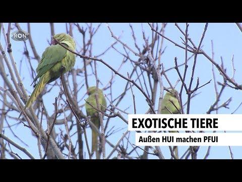 Exotische Tiere in Heidelberg: Halsbandsittiche, Ni ...