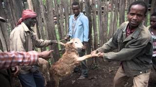 Rearing Sheep In Doyogena: Small Ruminant Value Chain Development In Ethiopia