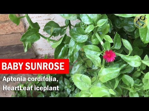 Baby Sunrose plant care and Propagation from cuttings | Aptenia cordifolia, heartleaf iceplant