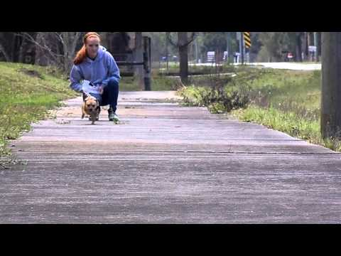 Off Leash Training Tips Recall Mini Einstein E Collar Pager Chihuahua Molly