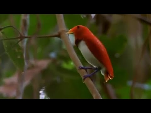 Dancing Birds Of Paradise – Wild Indonesia – BBC