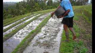 System of Rice Intensification (SRI): Growing more with less