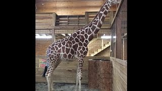 How to Still See April the Giraffe Give Birth at Animal Adventure Park