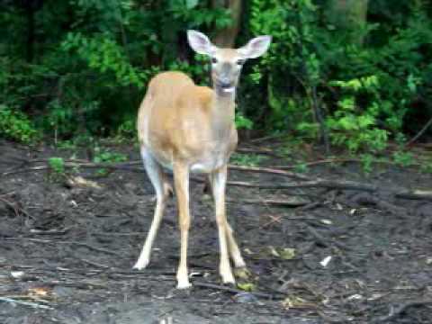 Deer Ann Arbor.mov