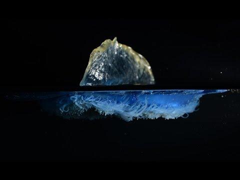 velella velella - conosciamo questo magnifico animale