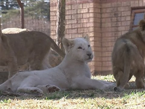raw - Three white lion cubs make their public debut at the Johannesburg Zoo in South Africa on Wednesday. (Aug. 27) Subscribe for more Breaking News: http://smarturl.it/AssociatedPress Get updates...