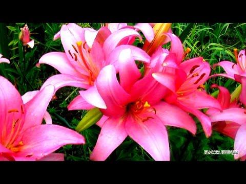 Красота ПРИРОДЫ - Цветы ЛИЛИИ Живая ПРИРОДА