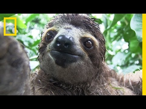 center - When orphaned baby sloths are hungry or adults lose their habitat, Yiscel Yángüez and Néstor Correa are on the case. They run an animal rescue center in Gamb...