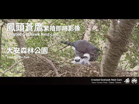 鳳頭蒼鷹繁殖監控 - 大安森林公園 Crested Goshawk Nest Cam (Taipei, Taiwan)