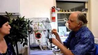 Budgie With Respiratory Noise&Tail Bob #2 200910