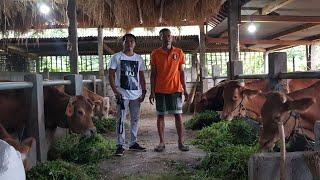 Video Grebek Kandang Sapi Breeding (Pembibitan) milik Bpk.Marni Magetan MP3, 3GP, MP4, WEBM, AVI, FLV Januari 2019