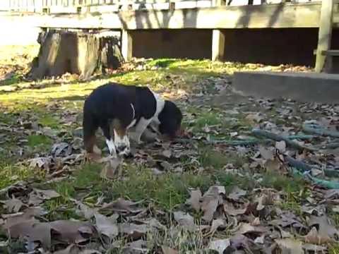 basset hound puppy 112812g