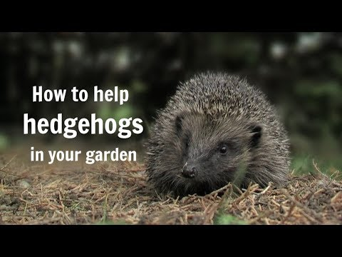 How To Help Hedgehogs In Your Garden Permaculture Magazine
