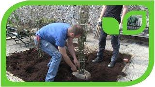 Ippenburger Gartentipps: Wie wird eine Ballenpflanze gepflanzt?