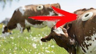 Зачем нужна дырка в боку коровы?