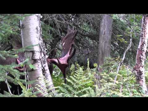 L'orignal: Le roi de nos forêts sur son heure de lunch!