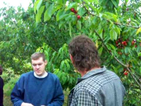 comment traiter cerisier pucerons